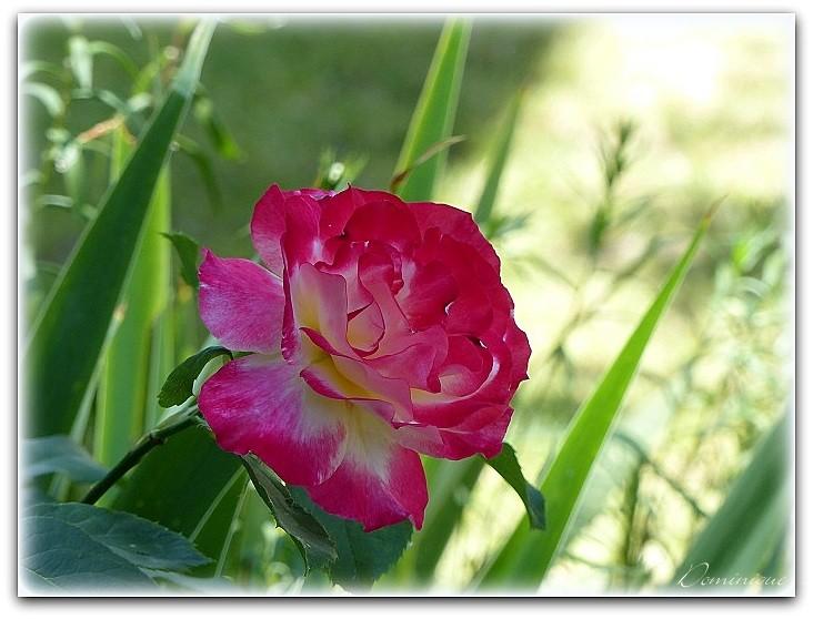 "La Rose  "" Elvis """