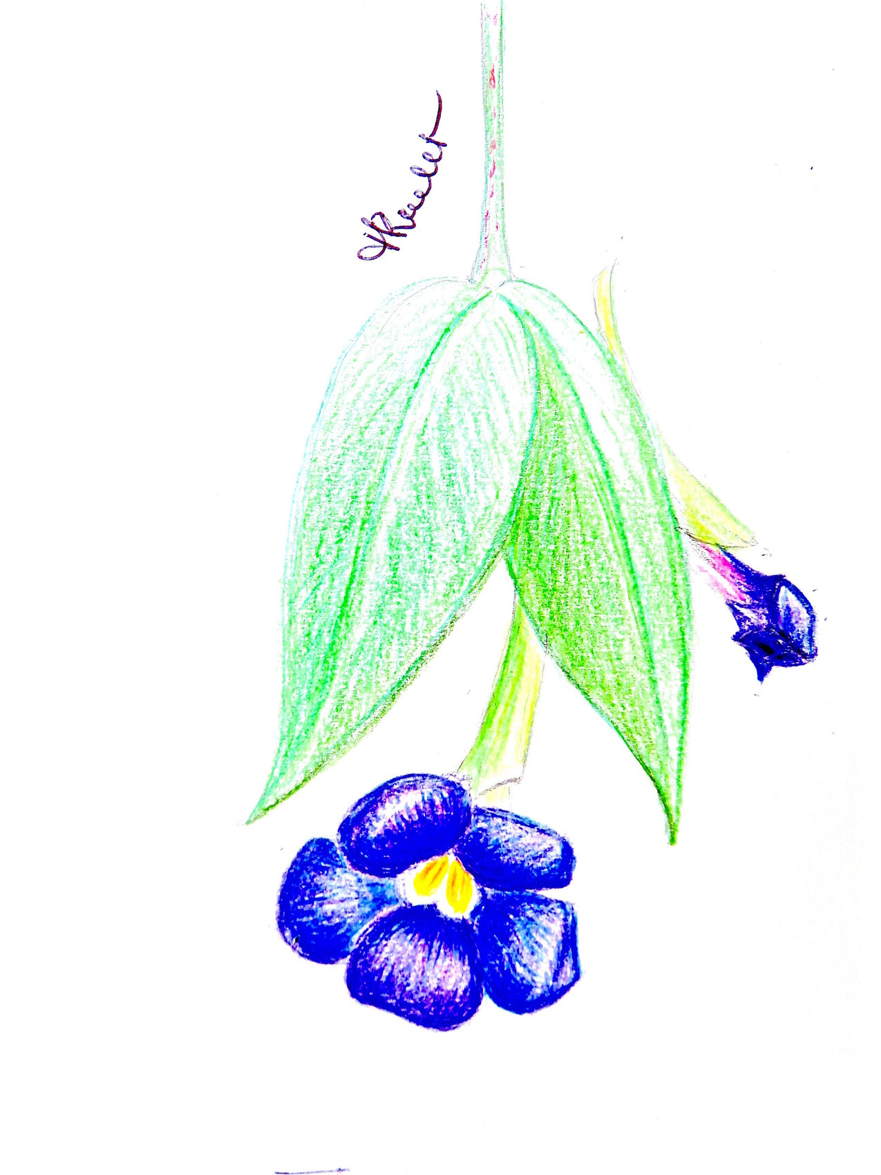 Dessin Fleur Bleue Thunbergie Erigee Thunbergia Erecta Drawing A