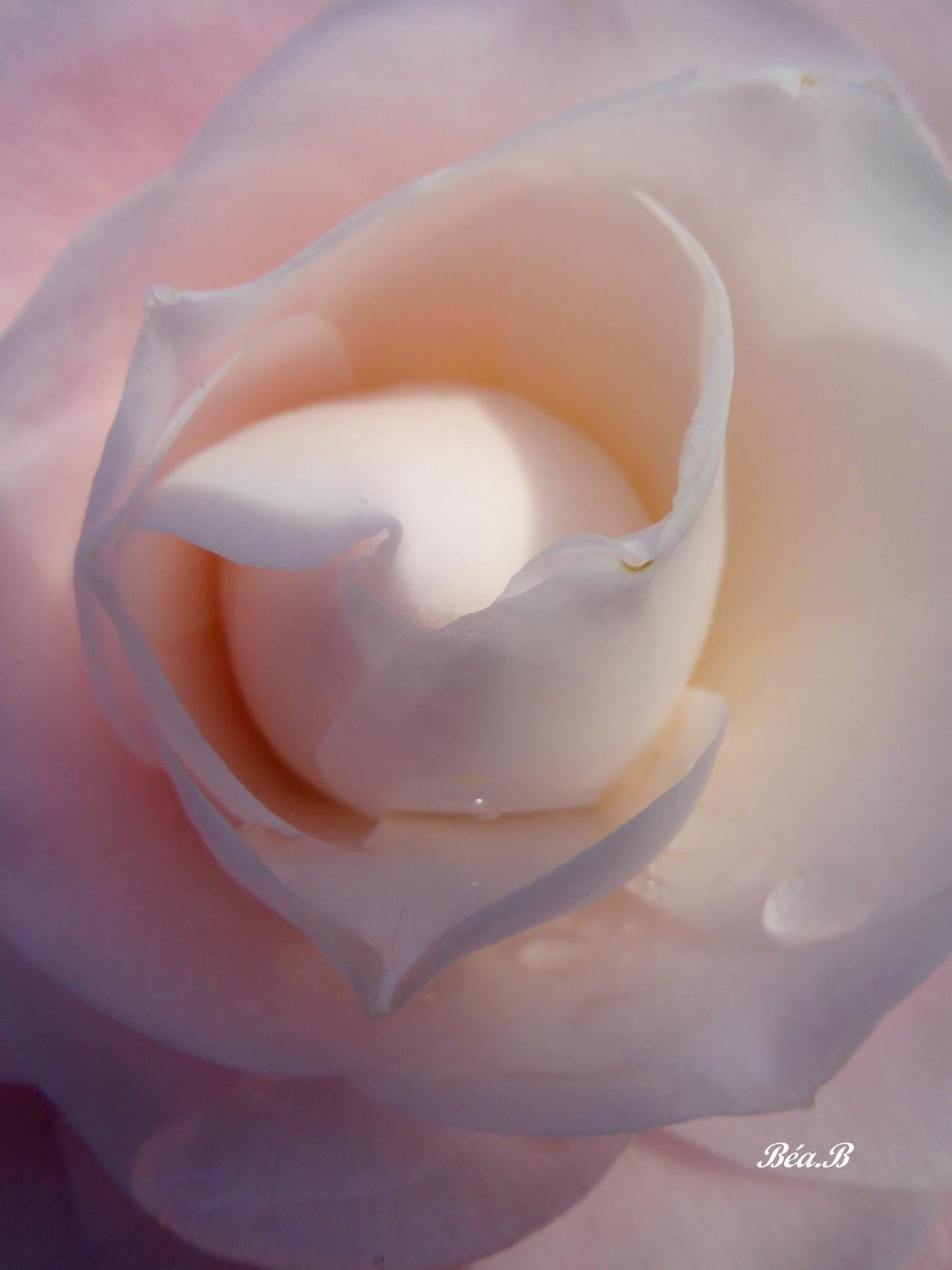 Coeur sucré de rose