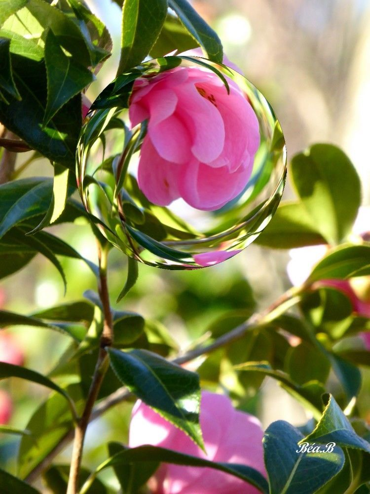 Bulle de fleur rose