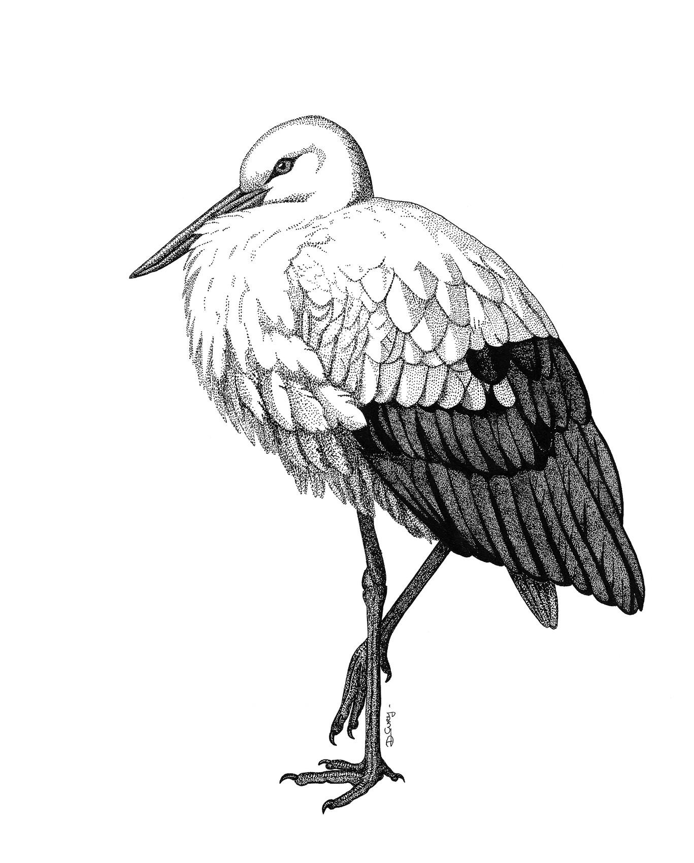 Dessin cigogne blanche - Cigogne dessin ...