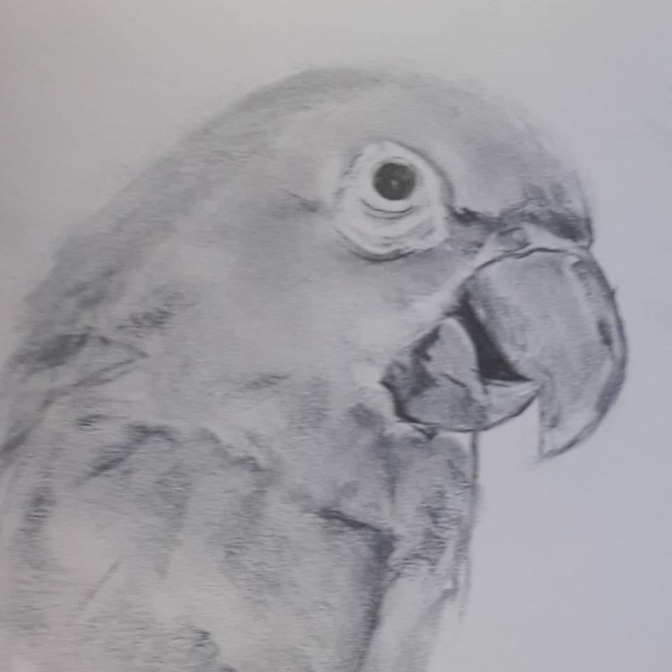 Dessin Perroquet