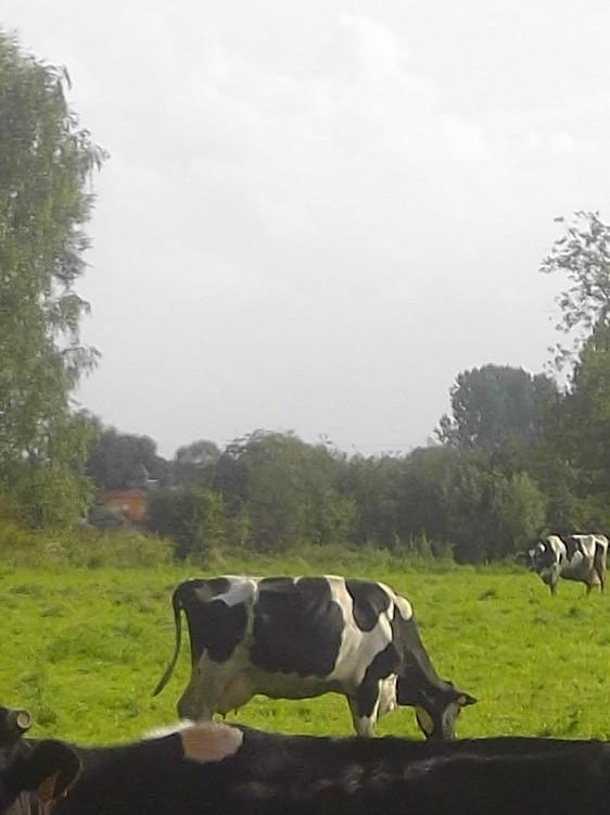 depuis quand n as tu pas vu une vache dans un près ?