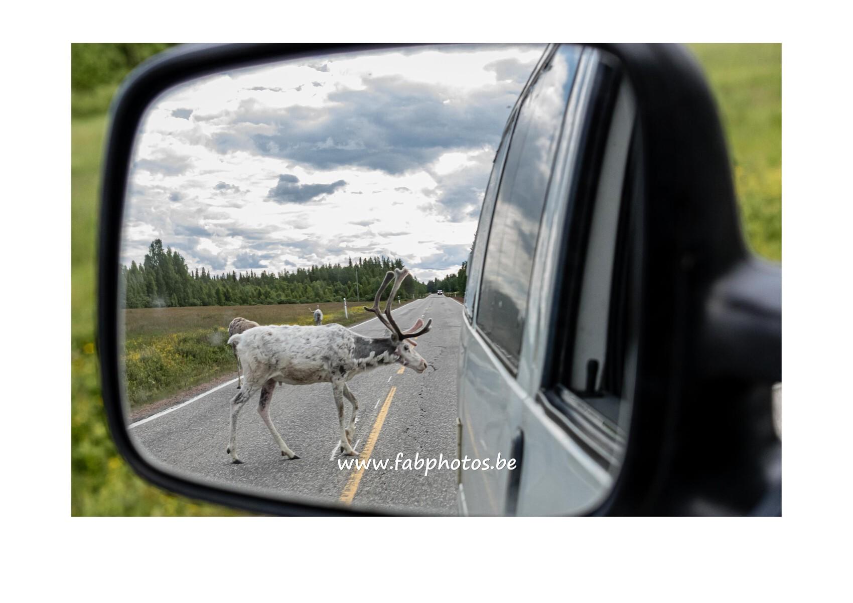 Renne en Finlande