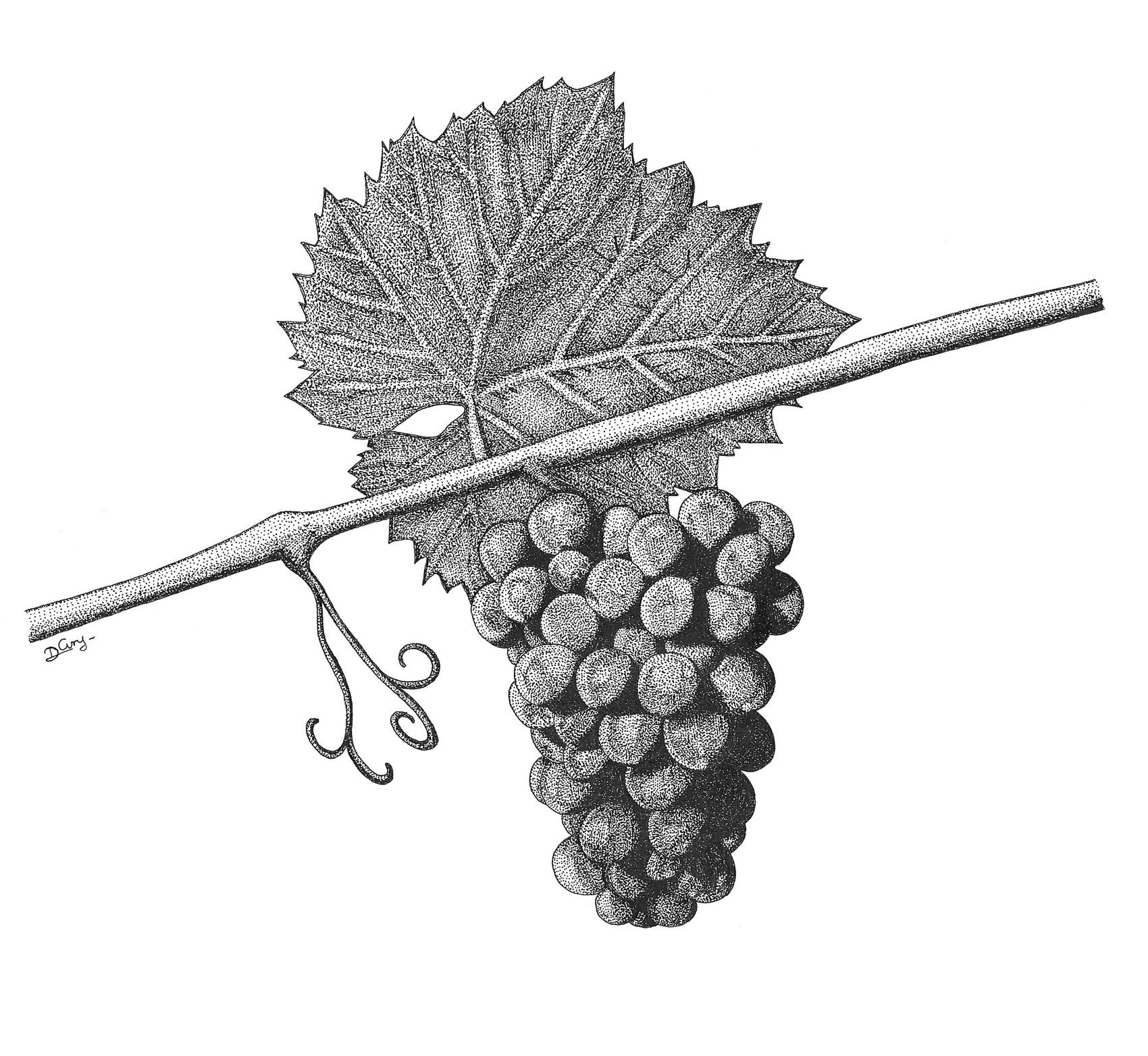 Dessin vendanges - Feuille de vigne dessin ...