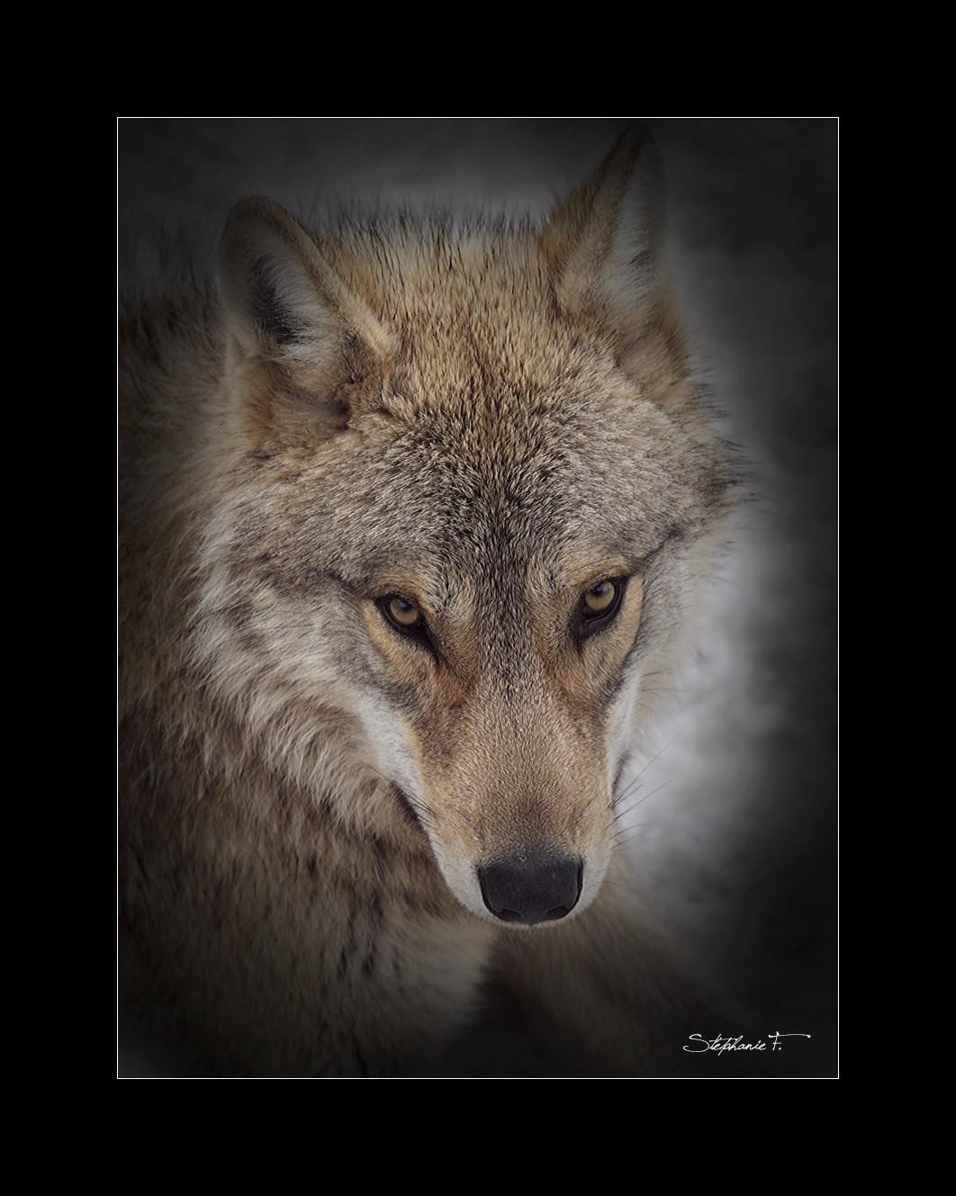 Loup du Gévaudan