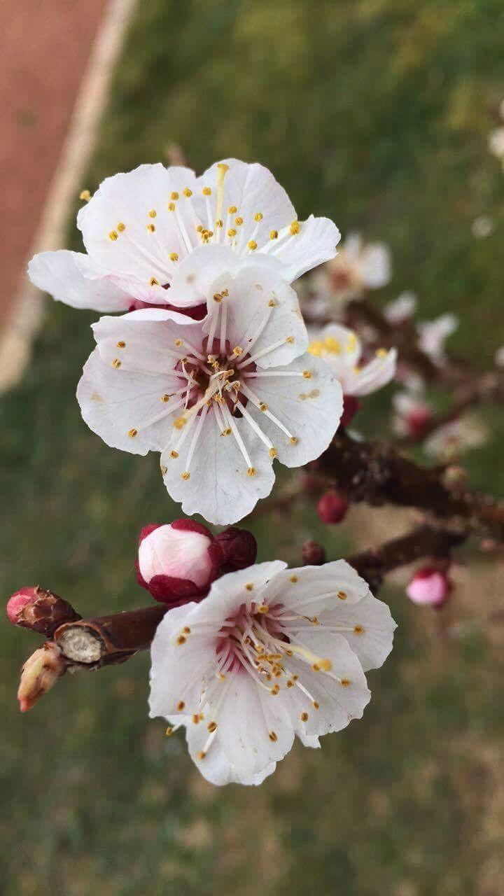Fleurs de nectarine