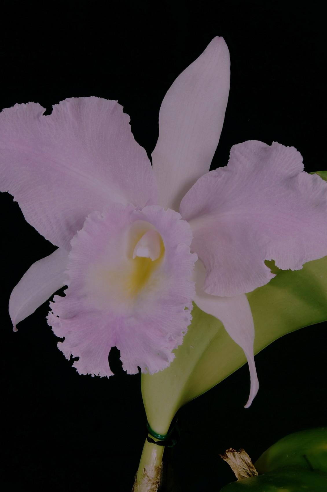 orchidee masculin ou feminin