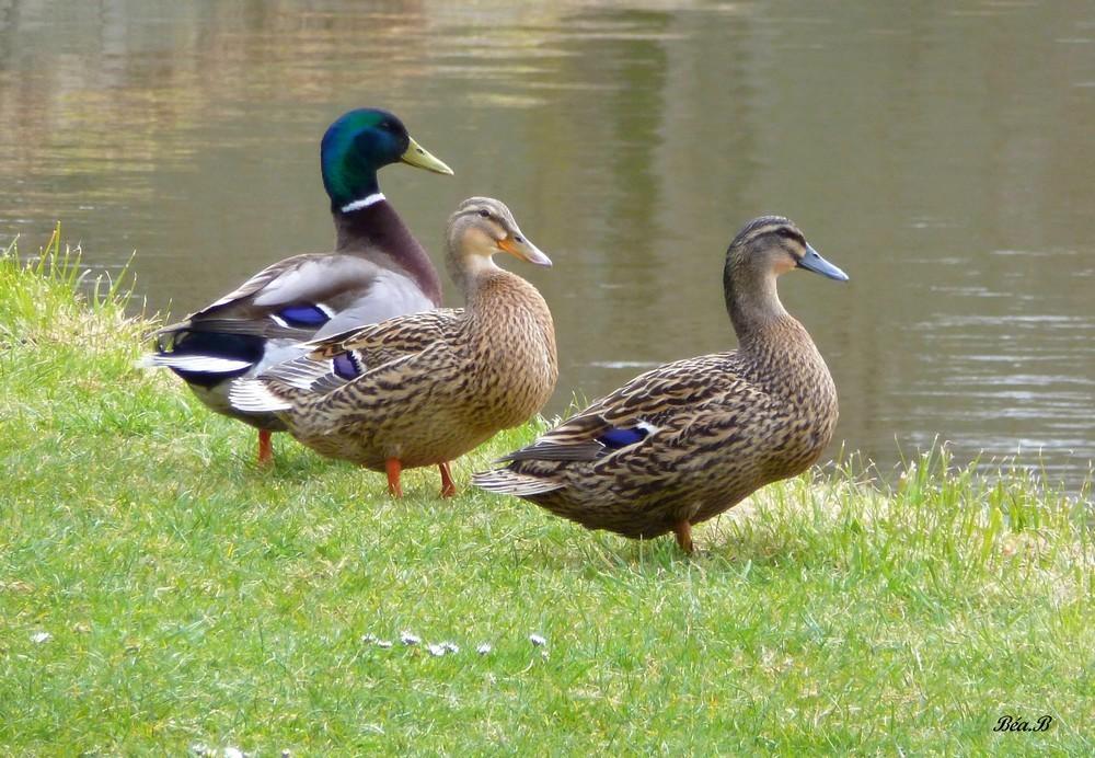 Les trois petits canards