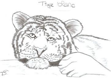 Dessin Tigre Blanc