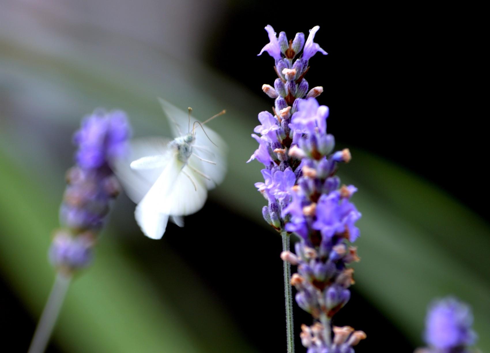 papillon ou fée ??