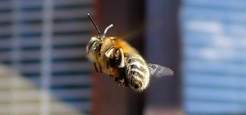 abeille en vol de dos