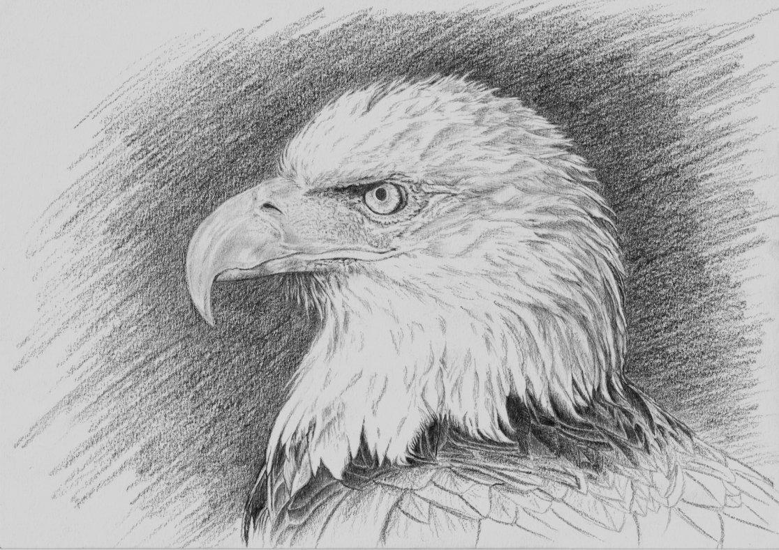 Dessin l 39 aigle - Dessin de aigle ...