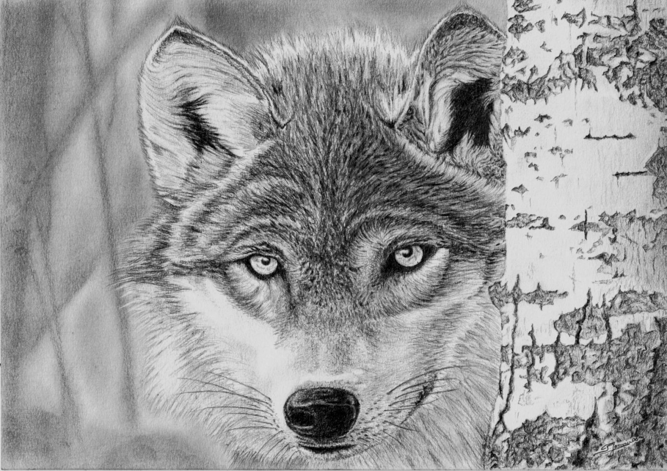 Dessin loup l 39 affut - Un loup dessin ...