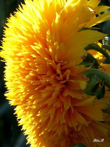 Photo fleur du soleil quel pompon - Fleur du soleil ...