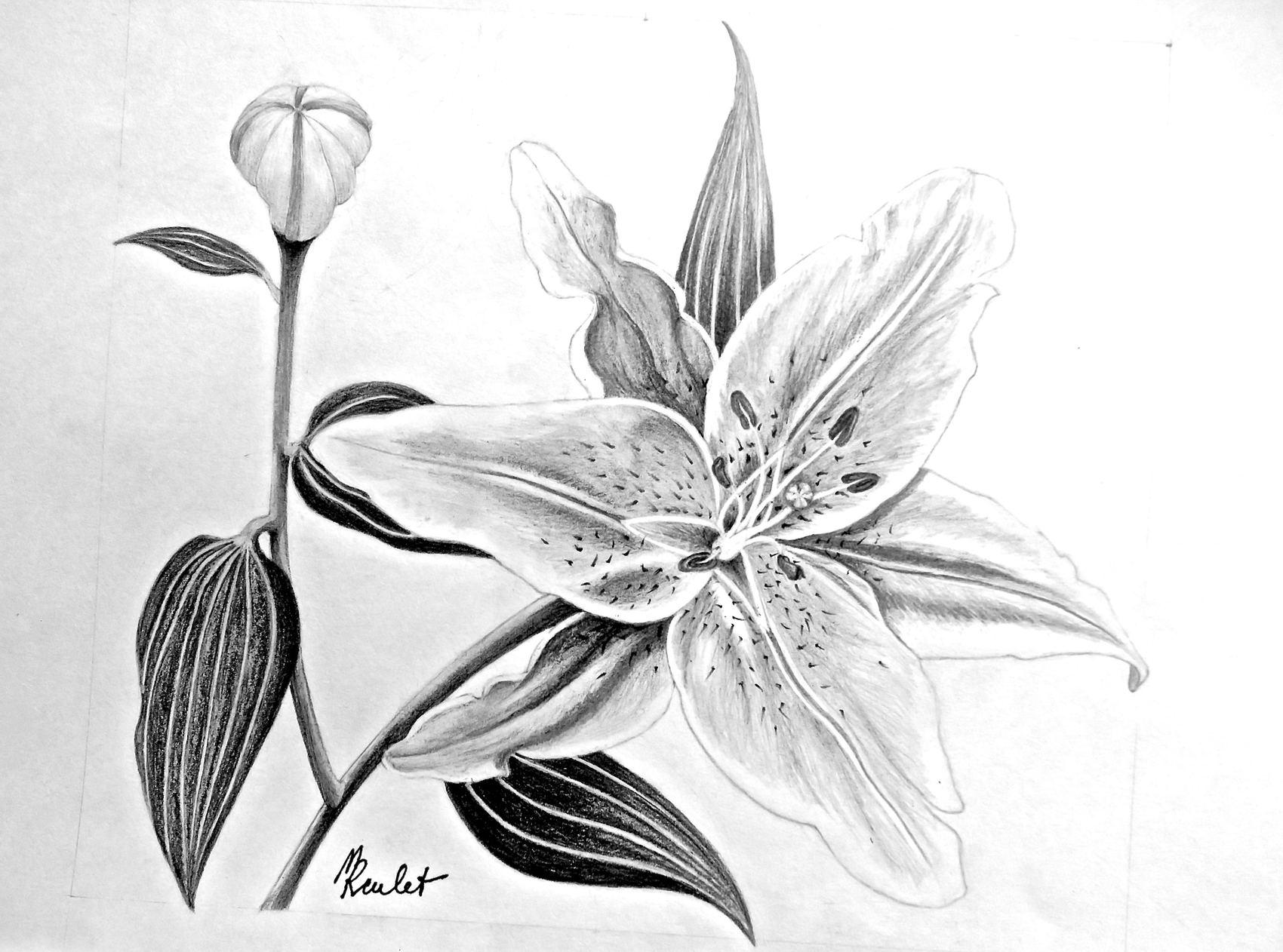 Dessin le lys rose en fleur 1 2 drawing a pink lily flower 1 2 - Fleur en dessin ...