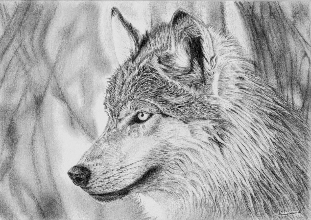 Dessin loup 1 - Image loup dessin ...