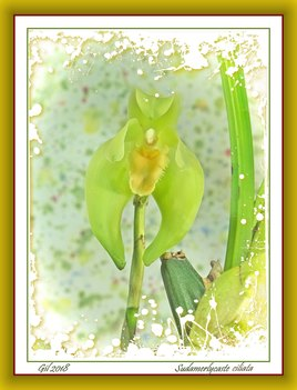 Sudamerlycaste ciliata - Orchidée