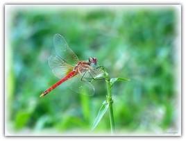 La Demoiselle en rouge.