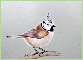 Mésange huppée (Lophophanes cristatus) / Drawing A European Crested Tit