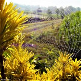 la toile d'araignée..