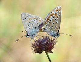 accouplement de papillon       :;