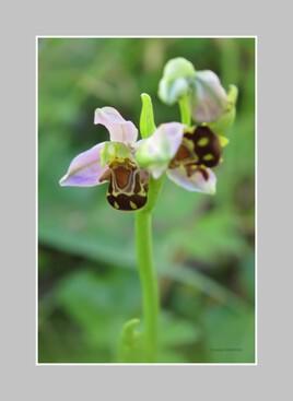 Orchidée..