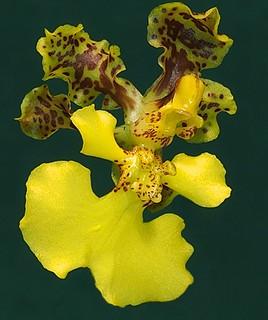 Oncidium cavendishianum