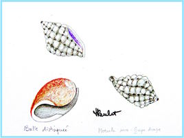 Dessin Coquillages des Seychelles / Drawing Seashells of Seychelles