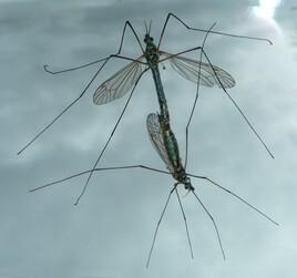 Sexy moustiques!