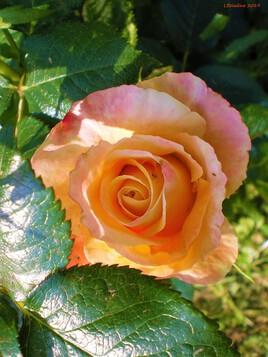 la rose orange..