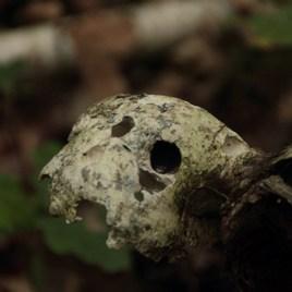 Squelette de champignon