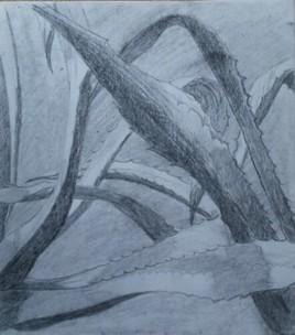 les agaves (2)