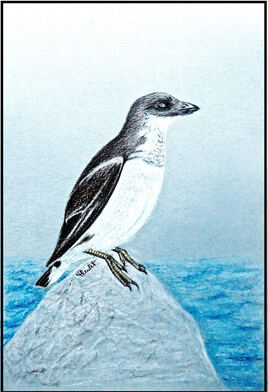Mergule nain (Alle alle) / Drawing A Little Auk
