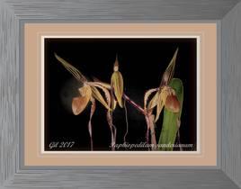 Paphiopedilum sanderianum - Orchidée