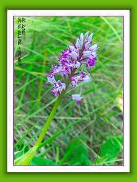 Orchis militaris - Orchidée