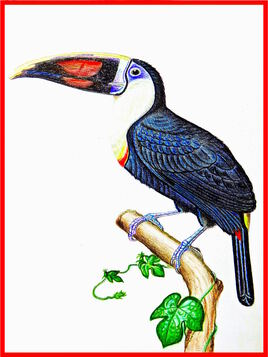 Dessin Toucan (Ramphastos tucanus cuivre) / Drawing A White-throated Toucan (cuvieri)