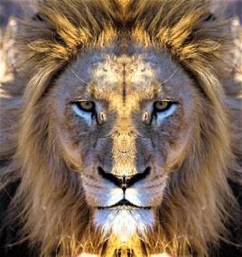 Sa majesté le Lion