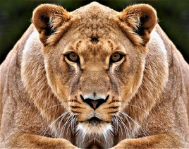 Lionne ourse ?