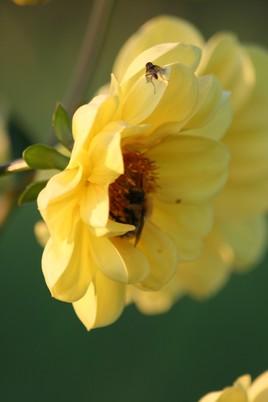 Dalhia jaune