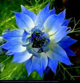 fleur bleue .. la nigelle..