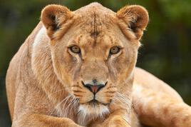 Lionne ourse modèle original