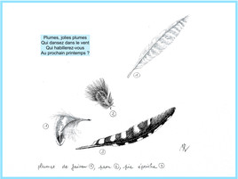 Dessin Plumes faisan paon et pic épeiche / Drawing Pheasant peacock and spotted woodpecker