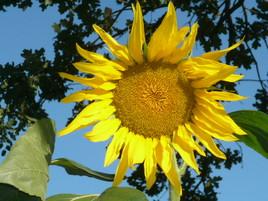 Fleur de soleil...