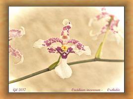 Oncidium incurvum - Orchidée