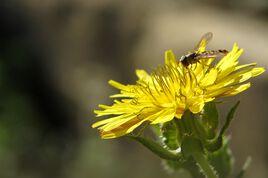 Syrphe sur fleur jaune
