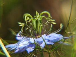 petite fleur de nigelle ...