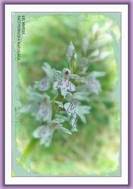 Dactylorhiza maculata 1 - Orchidée