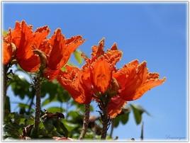 Le Tulipier du Gabon.