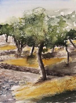 Les oliviers